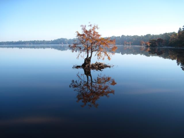A bald cypress glows coppery orange in Singletary Lake (photo courtesy N.C. State Parks)