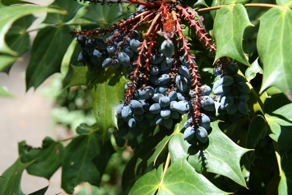 Some grape holly, otherwise known as Mahonia.