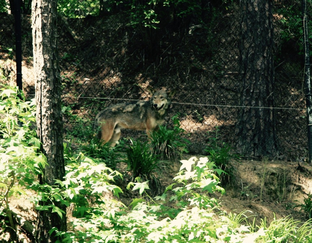 A red wolf. There estimated only 75-100 left in the wild in NC, the only population left in the world.