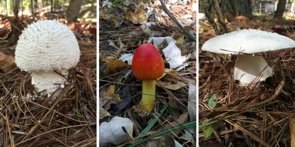 If you're a fan of mushrooms, you simply must hike the Historic Occoneechee Speedway Trail. But not to eat...