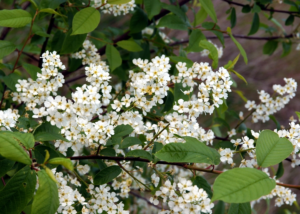 The black cherry, or wild cherry, makes a lovely contrast against broad, green leaves.