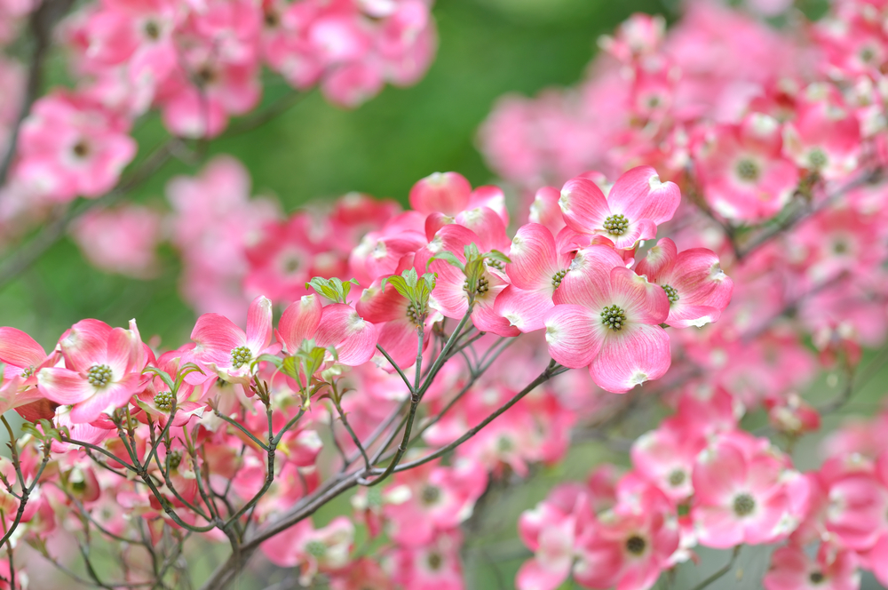 Dogwoods often look like pink or white clouds from a distance.
