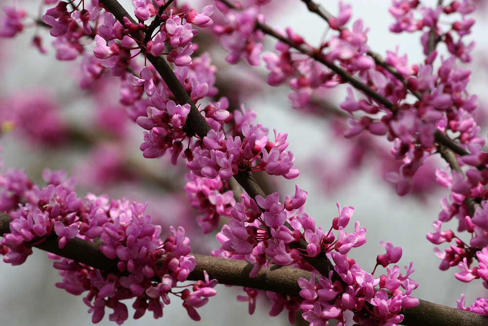 The showy redbud -- a native plant you can see in the woods in early spring.