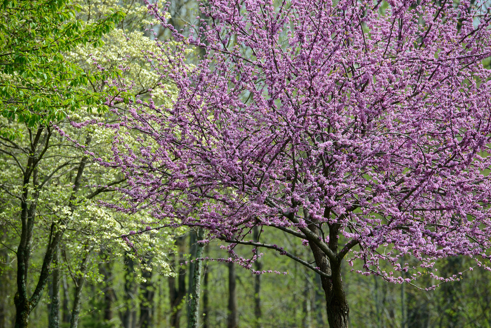 The best flowering trees in the spring in north carolina point of blue the best flowering trees in the spring in north carolina mightylinksfo Image collections