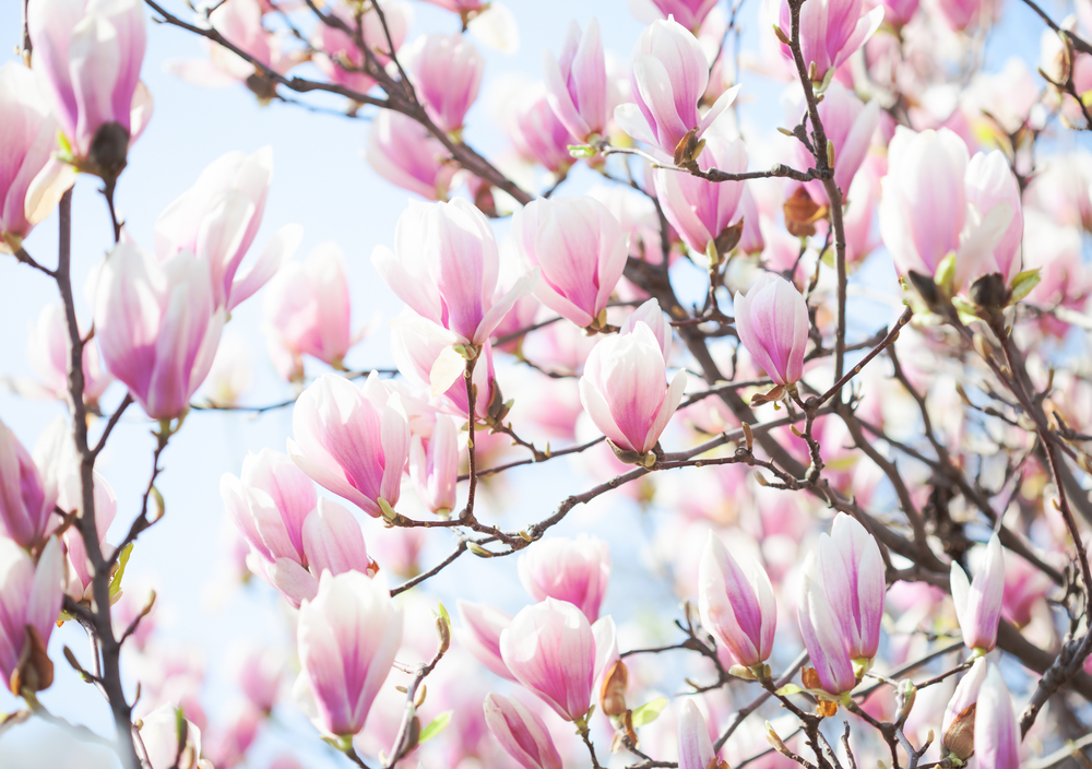 Brilliant magnolias, also known as saucer magnolias, tulip magnolias, or Mulan trees
