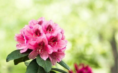 Hike the Piedmont for Some of the Best Rhododendron Blooms This Spring