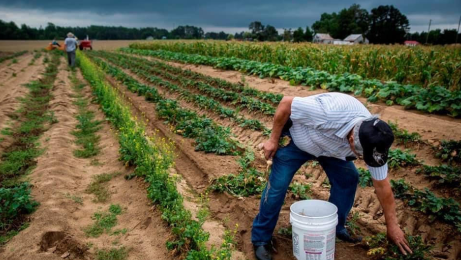 Native volunteers work in the field for a potato harvest