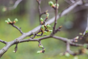 Small green buds begin to bloom on a tree branch