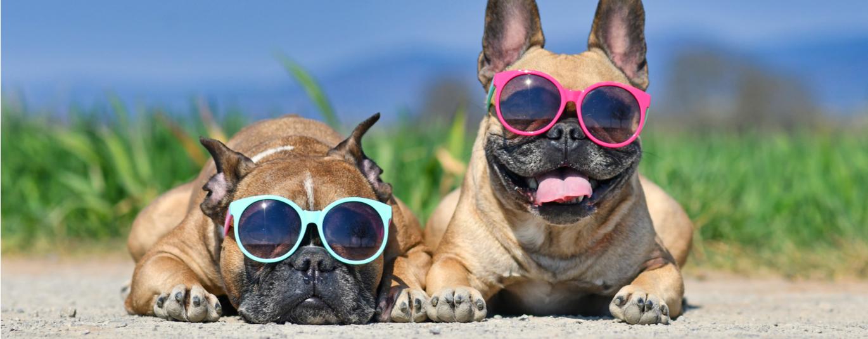 Two french bulldogs sit outside wearing sunglasses