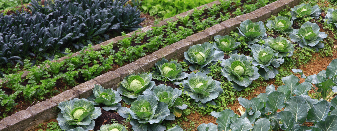 Rows of vegetables growing in an organic farm